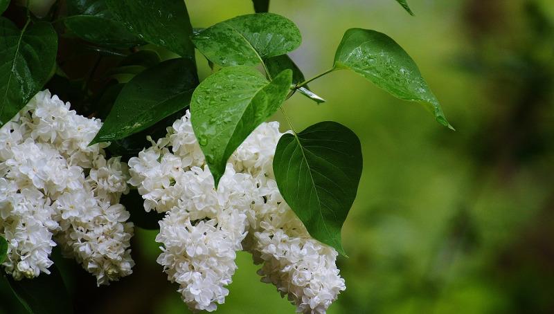 lilac-shrub-after-rain.jpg