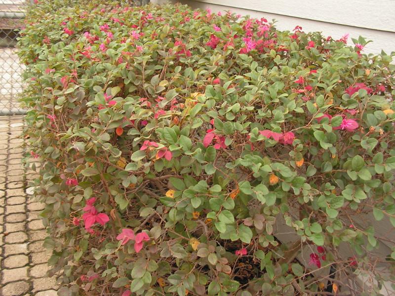 lorapetalum-hedge.jpg