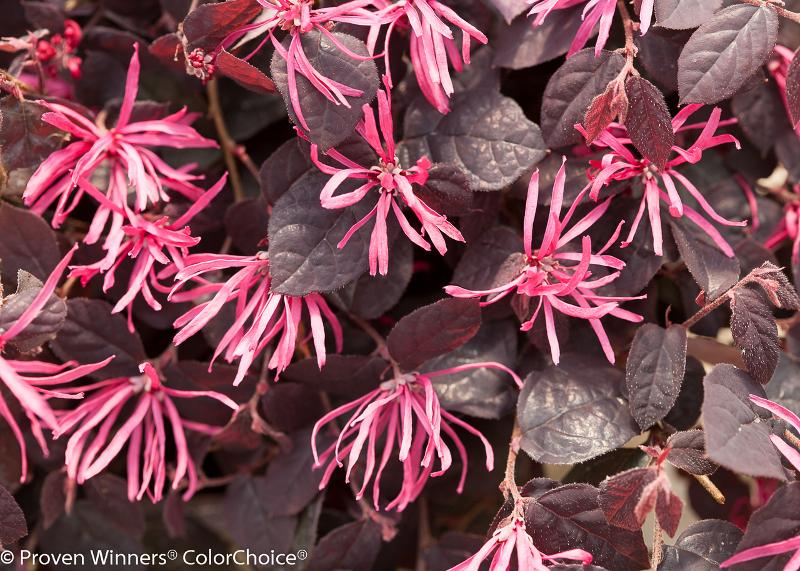 loropetalum-flowers.jpg