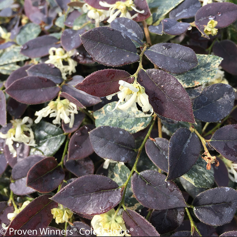 loropetalum-needing-fertilizer.jpg
