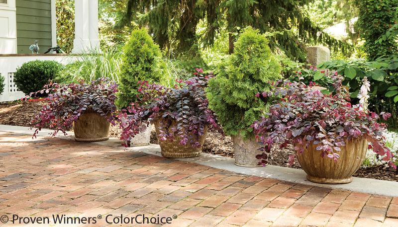 loropetalum-shrubs-in-planters.jpg