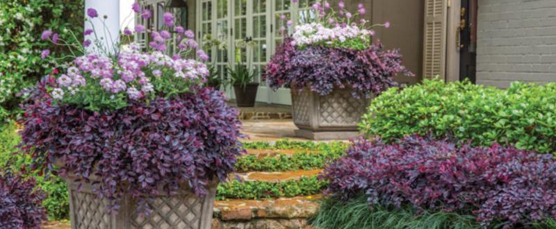 loropetalum-shrubs-in-the-garden.png