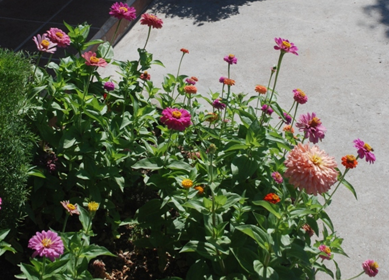 low-water-zinnias.jpg