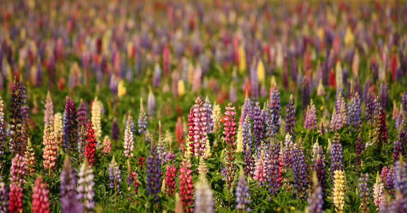 lupine-blooming-in-lots-of-different-colors.jpg