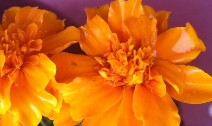 marigold-blooms.jpg