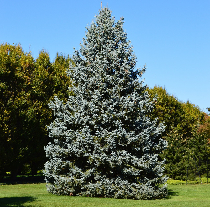 mature-blue-spruce-tree.jpg