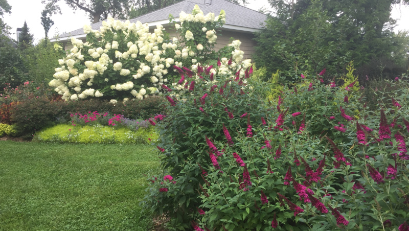 mature-butterfly-bushes-in-the-garden.jpg