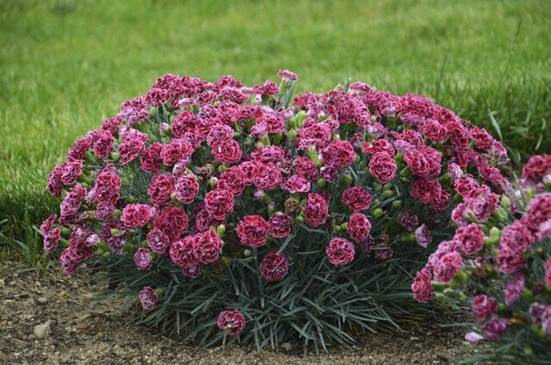 mature-dianthus-plant-blooming.jpg
