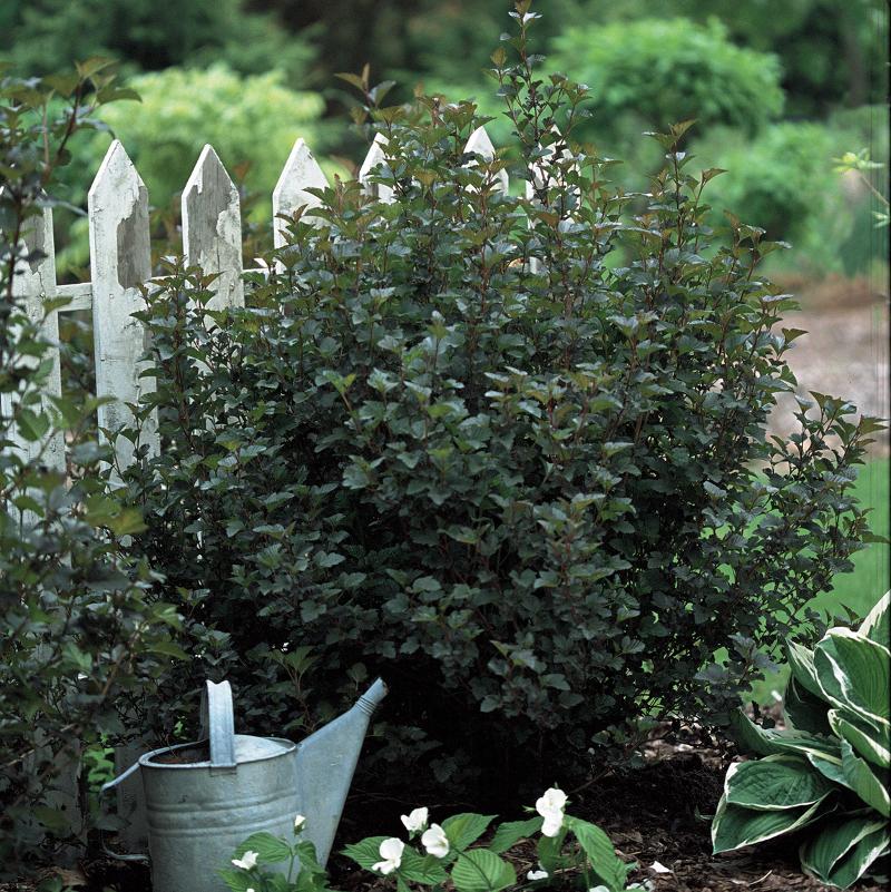 mature-ninebark-shrub-by-a-fence.jpg