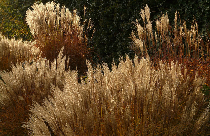miscanthus-ornamental-grass.jpg
