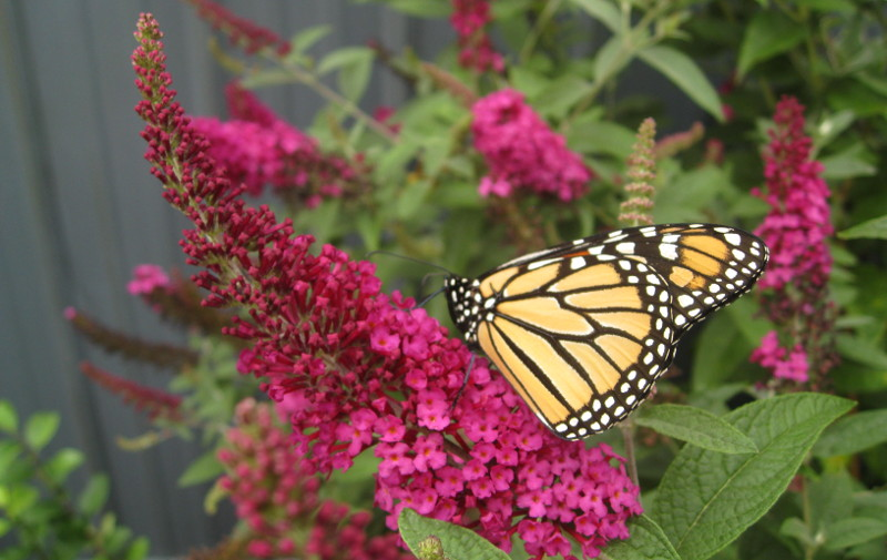 monarch-butterfly-on-pink-butterfly-bush-flower.jpg