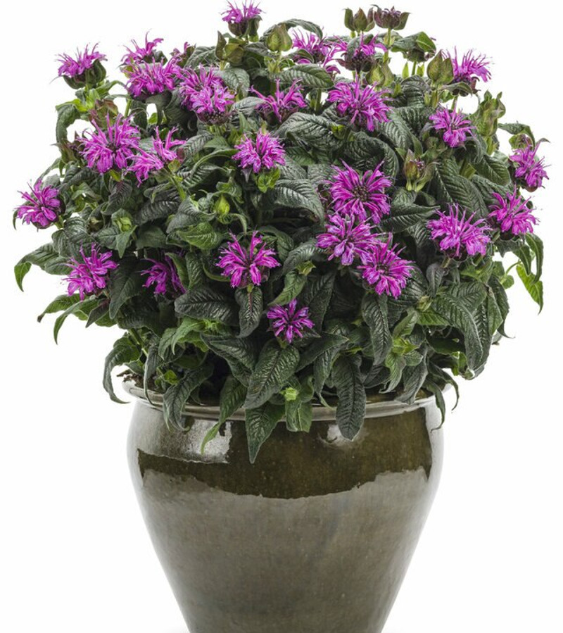 monarda-growing-in-decorative-pot.jpg