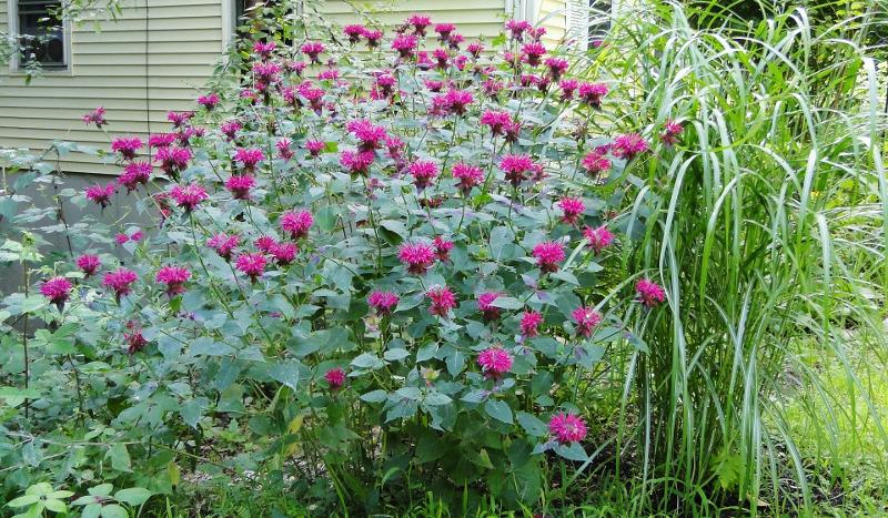 monarda-in-the-garden.jpg