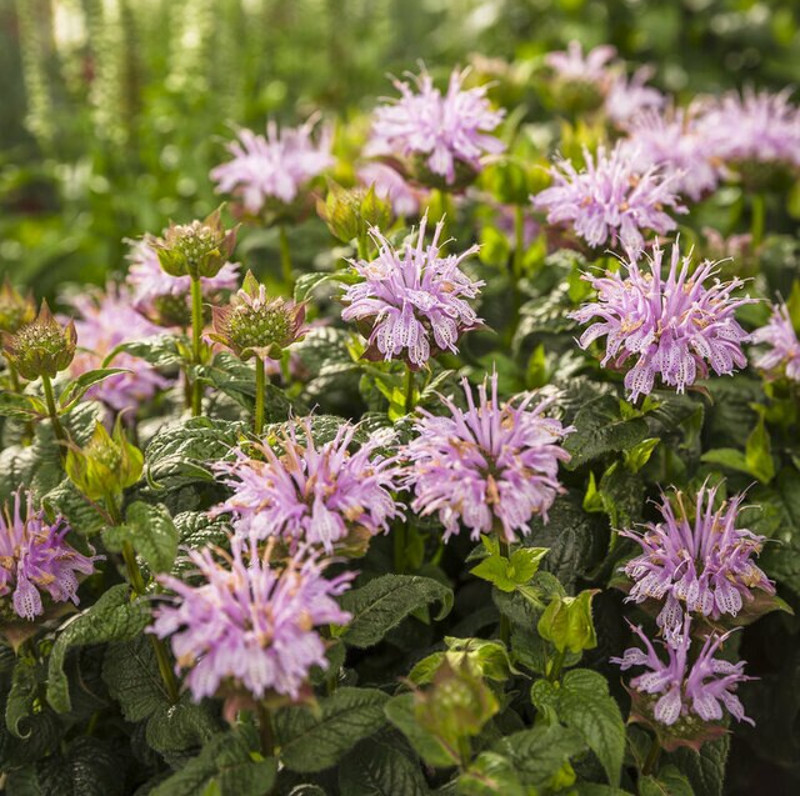 monarda-leading-lady-lilac-with-pink-blooms-37573.1551416732.jpg