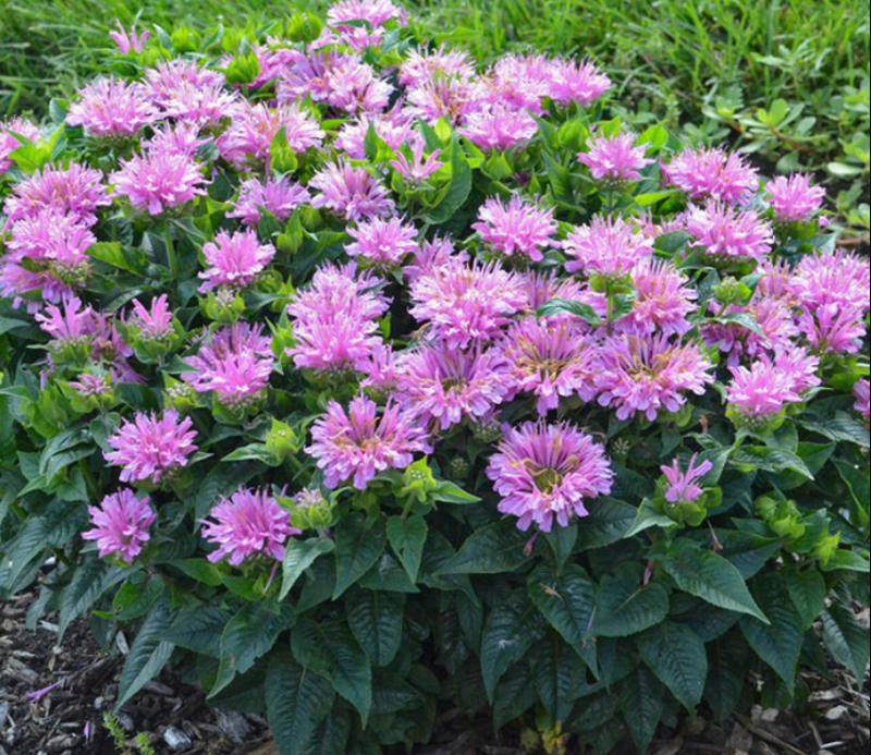 monarda-plants-blooming-in-the-garden.png