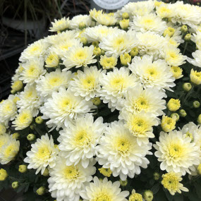 Moonglow White Garden Mum