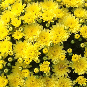 Moonglow Yellow Garden Mum