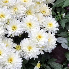 Morgana White Garden Mum