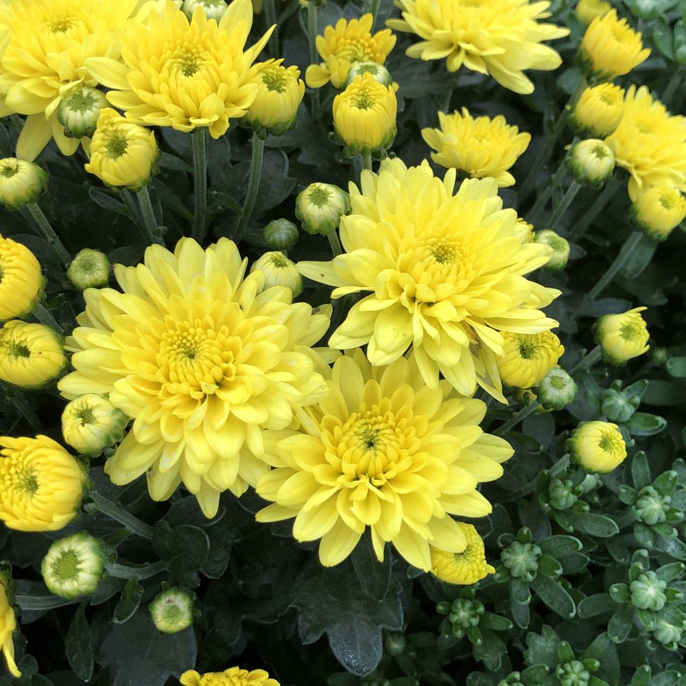 Morgana Yellow Garden Mum