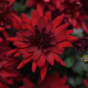 Mumma Mia Red Garden Mum