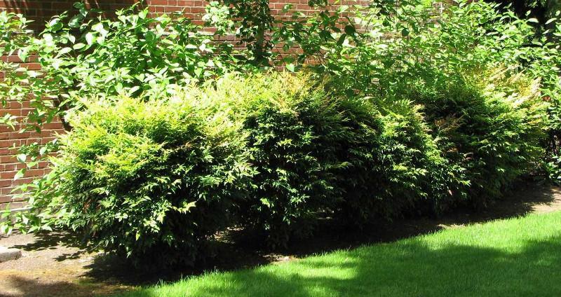 nandina-hedge-in-the-sunlight.jpg