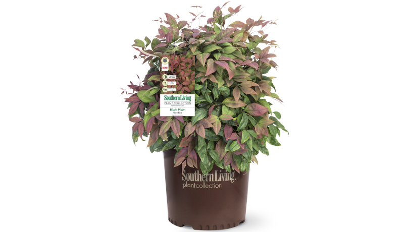 nandina-shrub-in-container-ready-to-be-planted.png