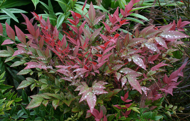 nandina-shrub-just-watered.jpg
