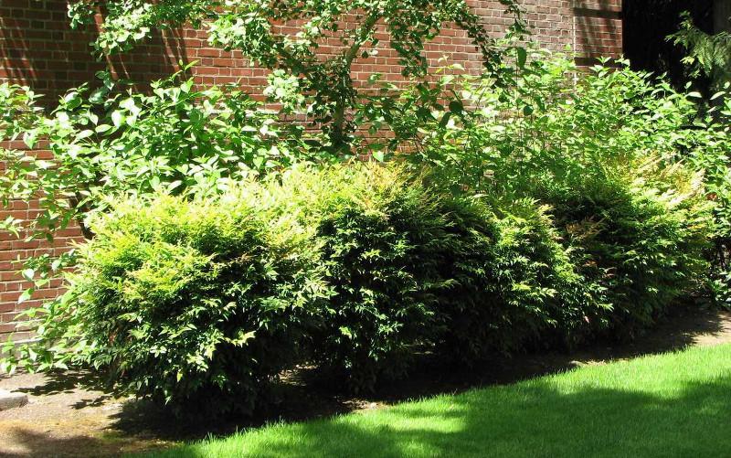nandina-shrubs-planted-as-a-hedge.jpg