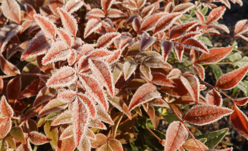 nandina-with-frost-on-the-leaves.jpg