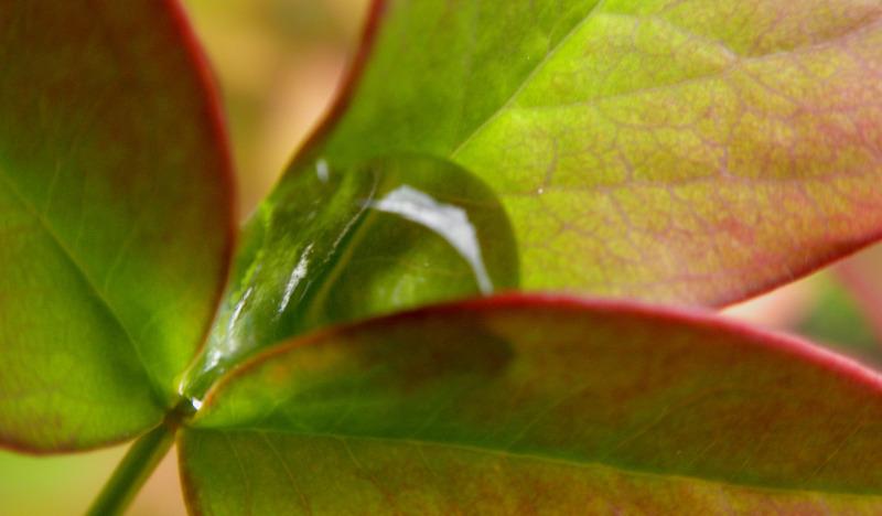 nandina-with-morning-dew-moisture.jpg