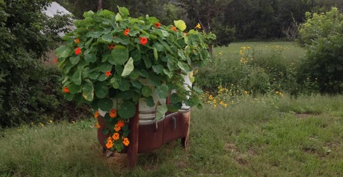 nasturtium-seeds-in-this-antique-washer.jpg