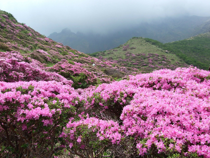 native-azaleas-growing-on-mountains.jpg