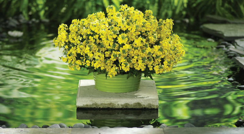 nemesia-plant-flowering-in-garden-planter.jpg
