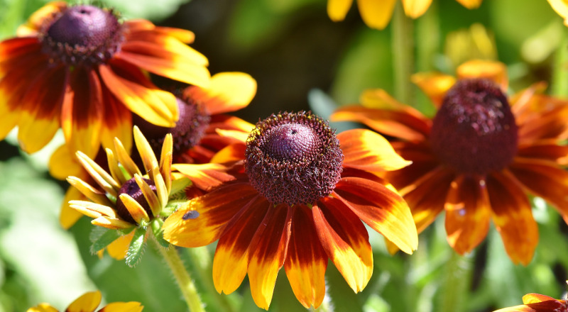 new-and-old-coneflower-blooms.jpg