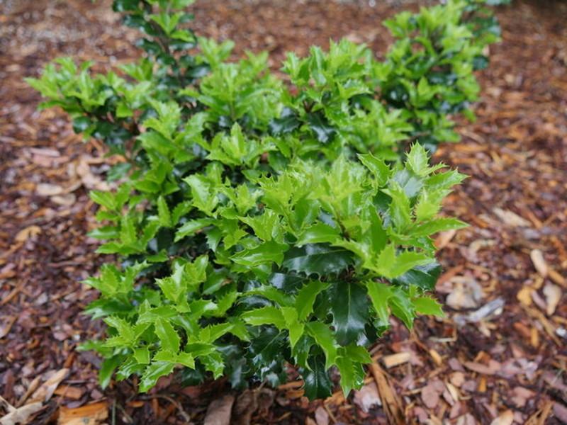 new-holly-shrub-in-the-ground.jpg