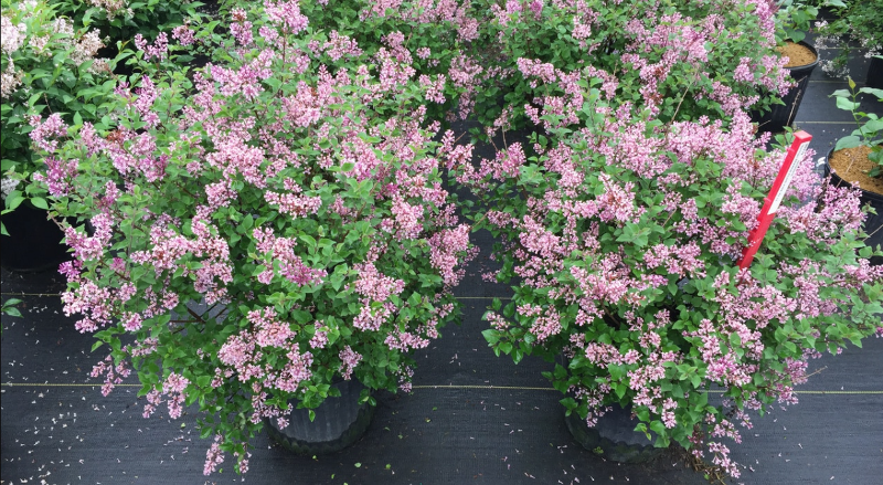 new-lilac-shrubs-in-containers-ready-to-be-planted.png