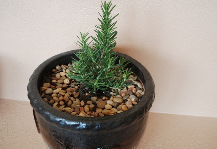 new-rosemary-plant-in-a-container.jpg
