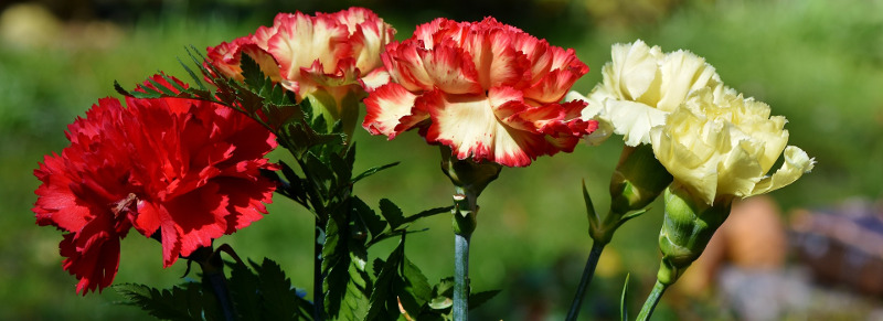 newly-formed-dianthus-flowers.jpg