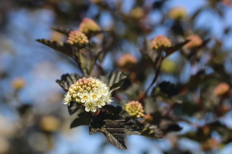 ninebark-flowers-and-foliage.jpg