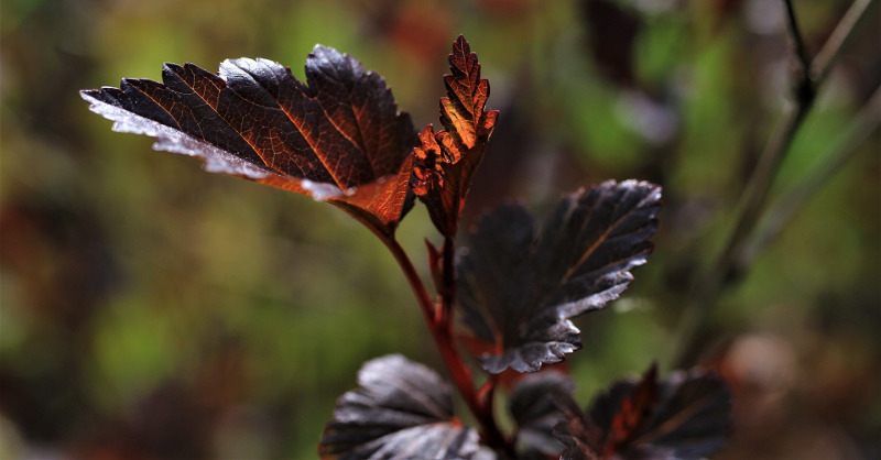 ninebark-foliage.jpg