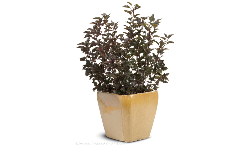 ninebark-growing-in-a-pot.jpg