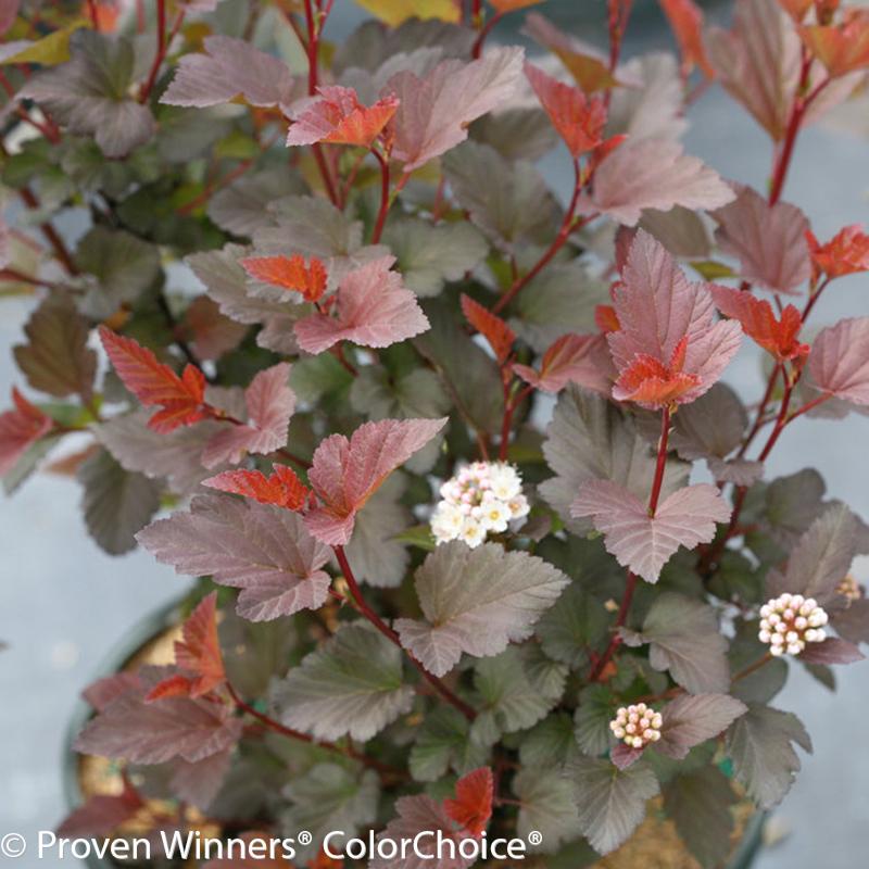 ninebark-shrub-in-nursery-pot-for-planting.jpg