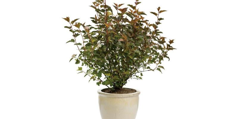 ninebark-shrub-planted-in-a-pot.jpg