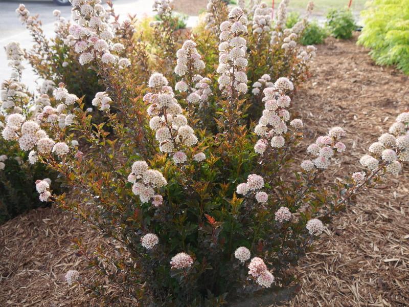 ninebark-shrubs-blooming.jpg