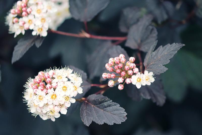 ninebark-with-dark-foliage-and-white-blooms.jpg