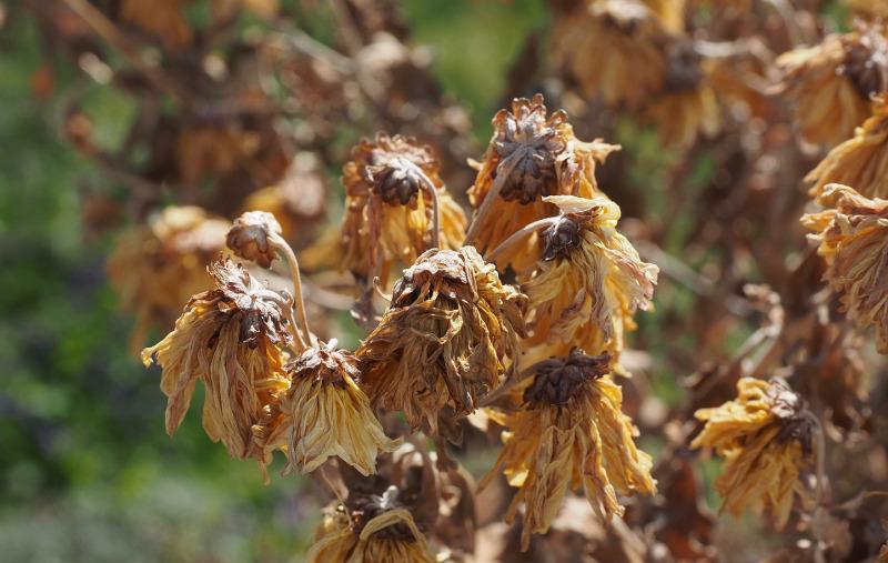old-dried-up-coneflower-flower-heads.jpg