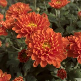 Orange Zest Garden Mum