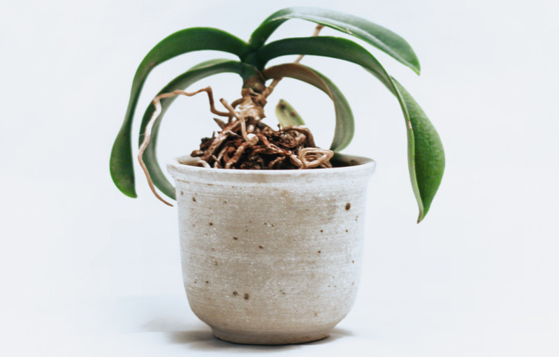 orchid-growing-in-a-pot-with-roots-climbing-out.jpg