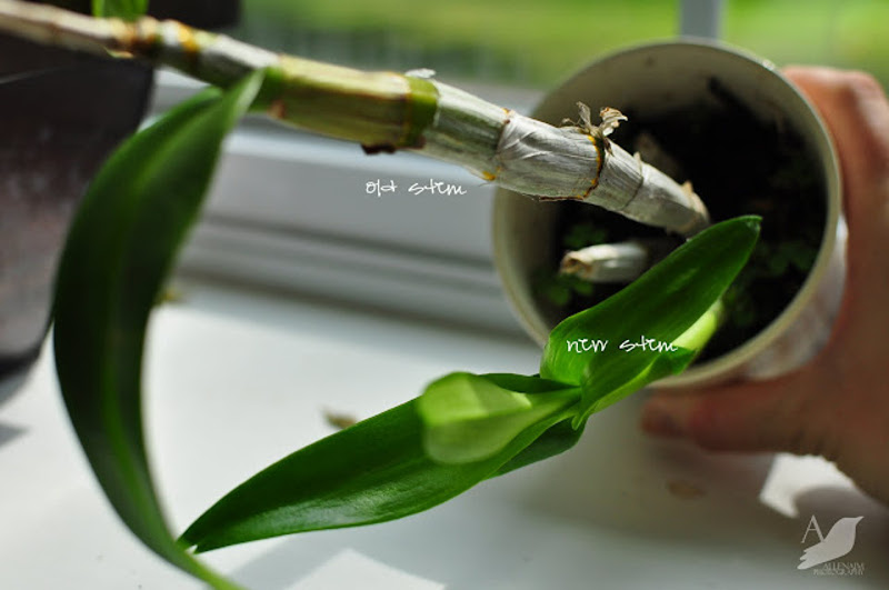 orchid-with-new-growth-emerging.jpg