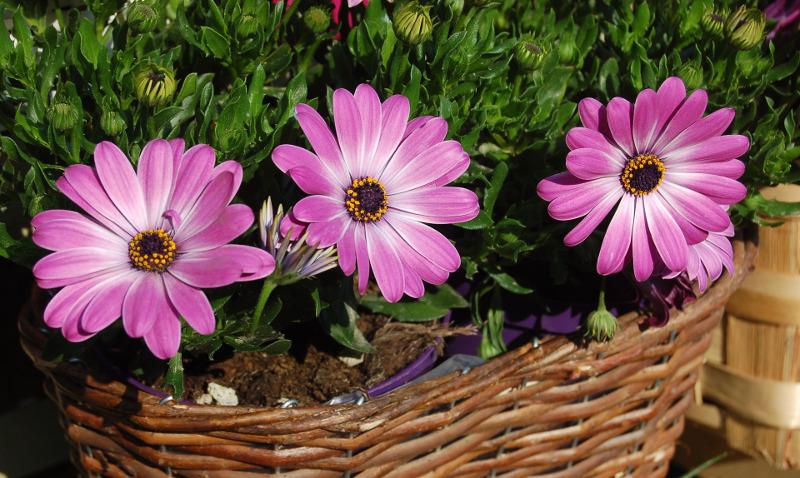 osteospermum-growing-in-garden-planters.jpg